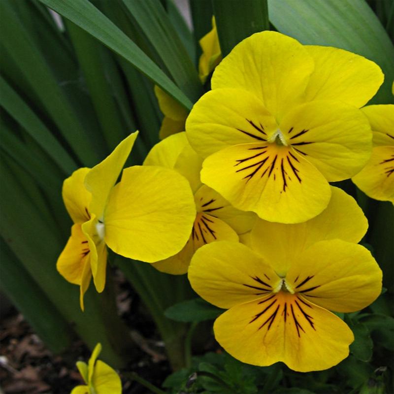 Flor Perenne De Altura Con Flores Amarillas Jardin De Flores