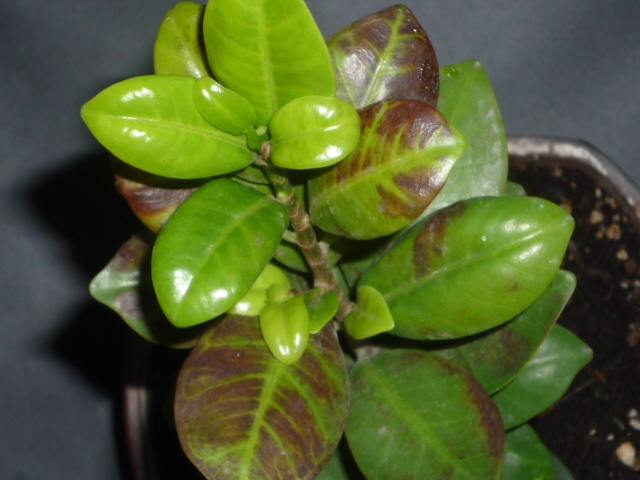 Diseases of indoor plants  Why leaves fall at houseplants